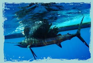 underwater photo of pacific sailfish