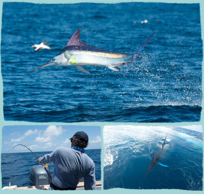Striped marlin fishing in the galapagos