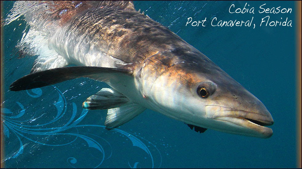 Cobia Fishing & Great White Shark Encounter in Port ...